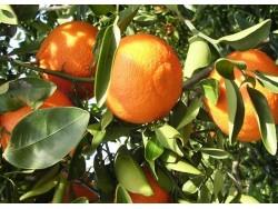 Mandarine Ortanique Bio