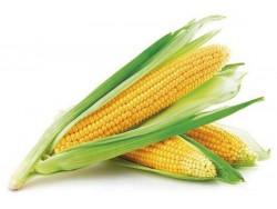 Maïs frais épis Bio