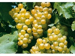 Raisin blanc Chasselas Bio