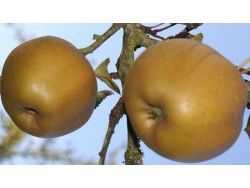 Pomme Reinette Grise Bio