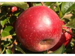 Pomme Redwinter Bio