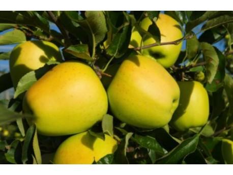 Pomme Goldrush des Cévennes Bio
