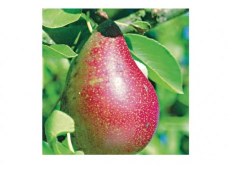 Poire Williams Bio rouge